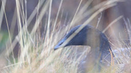 Portrait black goose in the fog Live Action