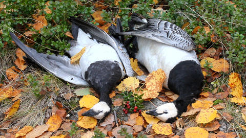Trophies Northern hunting geese Live Action