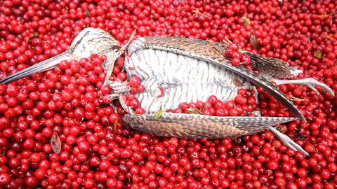 hunting scene, bird with red berries Live Action