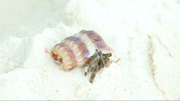 Hermit crab Footage