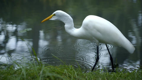 Great egret standing in the water and eating Footage