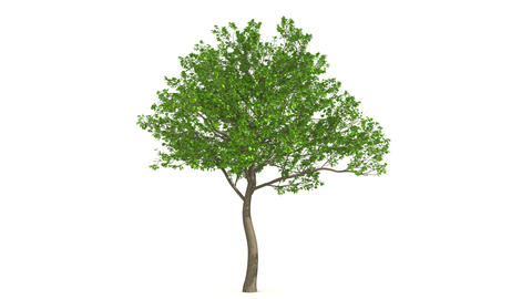 Growth of large green tree. Black and white mask Animation
