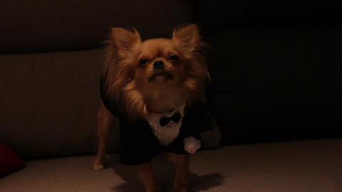 a dog in a wedding suit Live Action