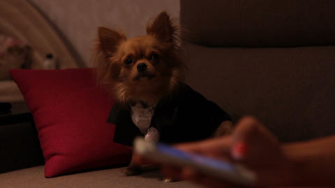 a dog in a wedding suit and hands with cell phone Live Action