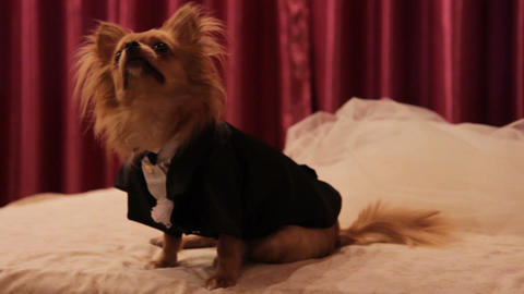 a dog in a wedding suit at the wedding (slider) Footage