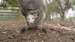 Close-up of a joey in the pouch of a kangaroo Footage