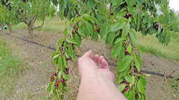 4k video of cherry picking, wrist view Footage
