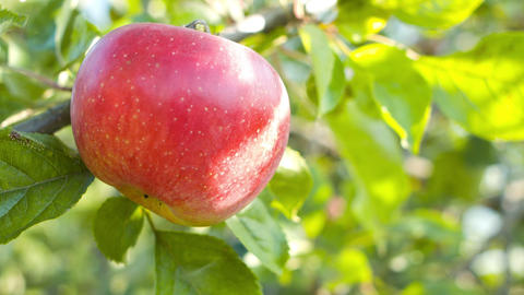 Apple on tree in garden Footage