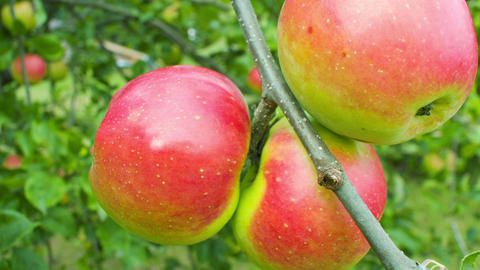 Apple tree with red apples Live Action
