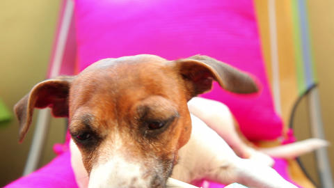 Smart Dog Jack Russell Terrier stock footage