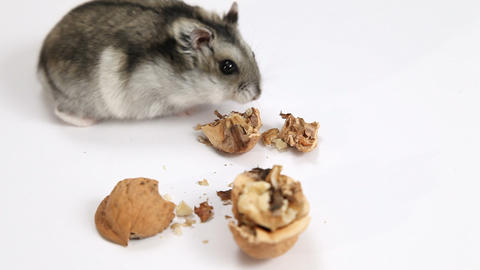 Hamster Eating Walnut stock footage