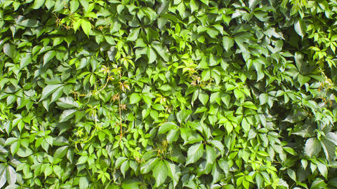 Green leaves nature backgrounds Footage