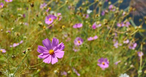 4k Closeup Cosmos Bipinnatus(Garden Cosmos) In Wind stock footage