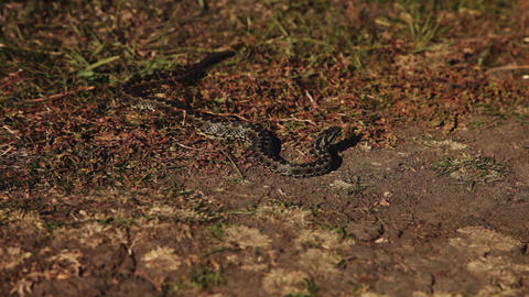 1673 steppe viper Footage