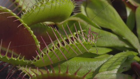 CLOSE UP: Grasshopper gets caught in carnivorous s Live Action