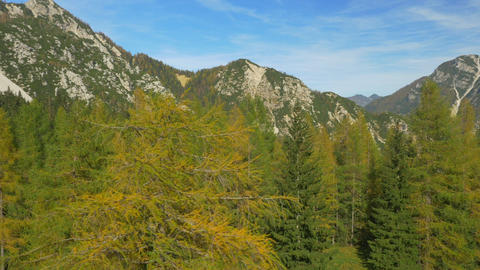 AERIAL: Flying around yellow larch tree in the mou Footage