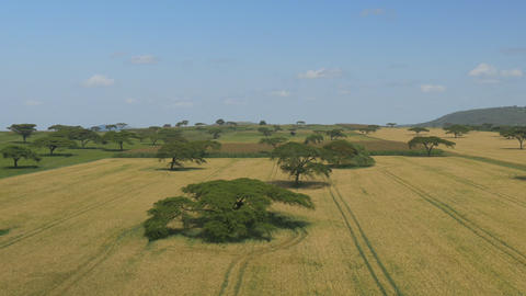 AERIAL: Kenyan wheat fields with acacia trees Footage