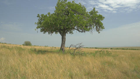 AERIAL: Solitaire tree in African safari Footage