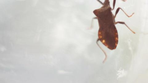 Picromerus bidens - bug Live Action