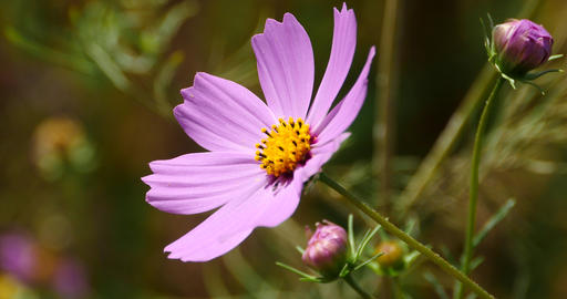 4k Closeup Cosmos Bipinnatus(Garden Cosmos) In Wind stock footage