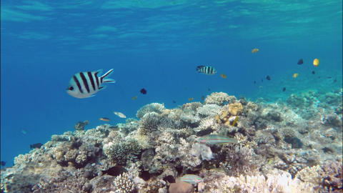 Many fish swim among corals in the Red Sea - Egypt Footage