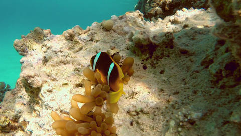 Clownfish shelters and anemone on coral reef in Re Footage