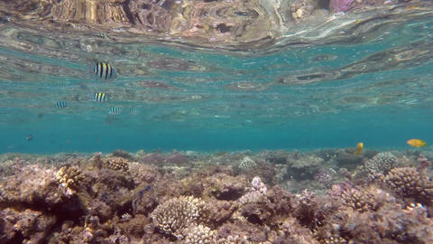 Scissortail Sergeants fish on a coral reef Footage