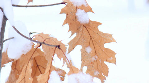maple leaves in the snow Footage