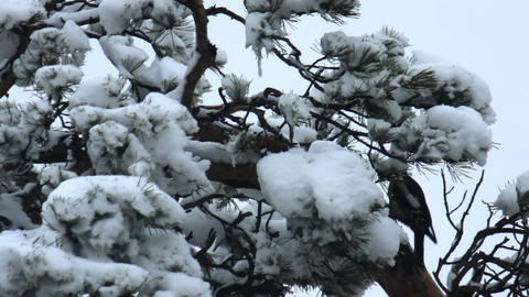 woodpecker hollows a tree Footage