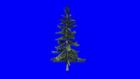 Realistic Animated Pine Tree: Loop + Matte stock footage