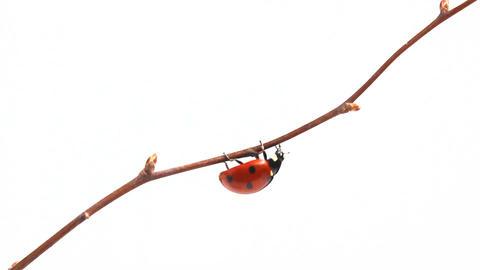 Ladybird.Ladibird pest control Footage