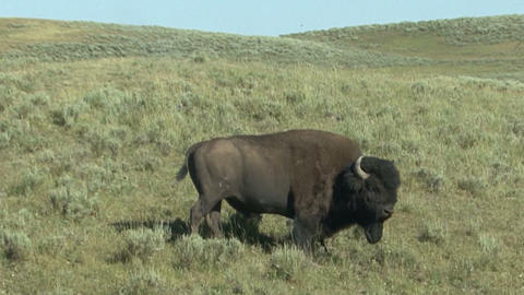 Yellowstone National Park. Bison Footage