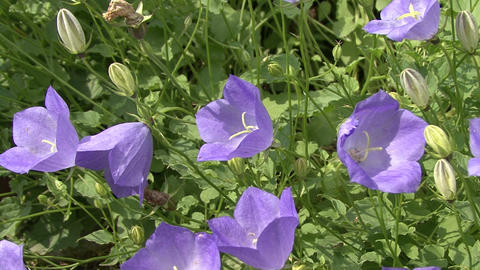 blue flowers campanula Footage
