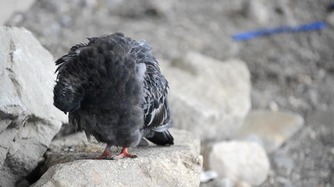 Pigeon cleans feathers Footage