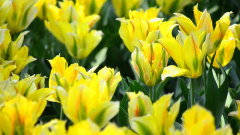 The Field Of Yellow Tulip stock footage