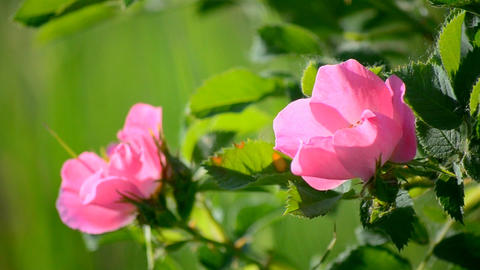 Wild Rose On The Green Background stock footage