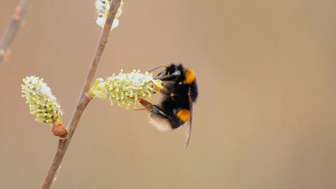 the bee collects nectar Footage