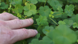 Man Looking Through Clover Plant stock footage