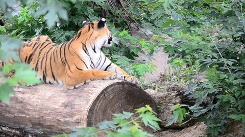Amur tiger in the wild Live Action
