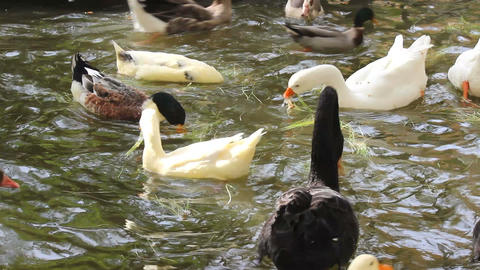 Ducks , geese and swans Footage