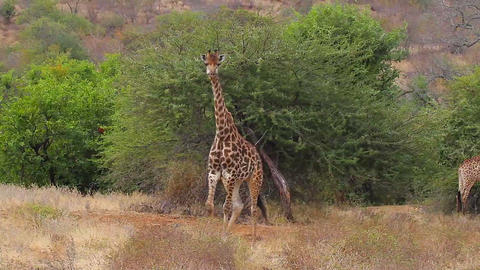 2 angles - 2 Giraffes walking towards camera Footage