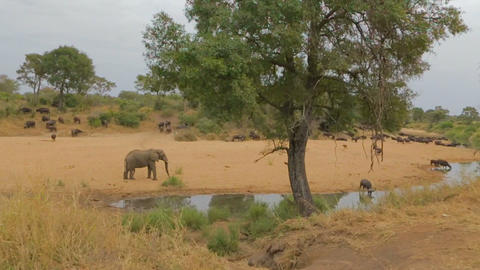 2 angles - Elephant at riverbank with African buff Footage