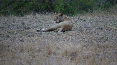 3 angles - female lion in evening with her baby cu Footage