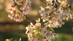 Sakura Flowers or White Cherry Blossoms Footage