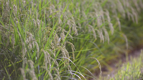 Rice Field,in Tsuruoka,Yamagata,Japan stock footage
