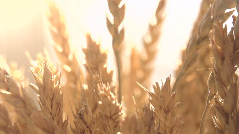 Ears of Wheat in the Sunlight Footage