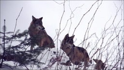 Wolves move through a forested area in winter,ultr Footage