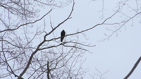Black Bird, Crow, Raven - Silhouette On Tree with Footage