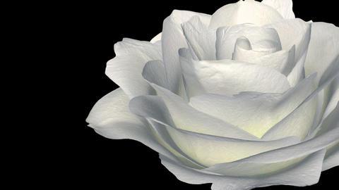 White Rose - Rignt Transition - Alpha Animation