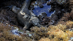 Marine Iguana Eating Algae Off Volcanic Rocks stock footage